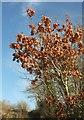 SX9268 : Oak by the coast path by Derek Harper