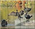 TQ0051 : Riverside Park - Cormorants by Colin Smith