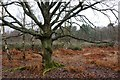 TQ0759 : Young oak tree, Wisley Common by Simon Mortimer
