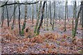 TQ0659 : Birch woodland, Wisley Common by Simon Mortimer