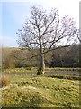 NY7784 : Ash tree at Dally Castle by Oliver Dixon
