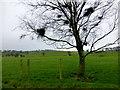 H5269 : Bird's nests in a tree, Tattykeeran by Kenneth  Allen