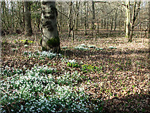 TG2202 : Snowdrops on the edge of Dunston Common by Evelyn Simak
