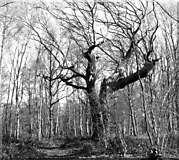 TG2202 : Old oak beside a path through Dunston Common by Evelyn Simak