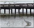 SK5906 : Heron fishing at Ellis Meadows by Mat Fascione