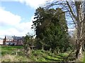SX9391 : The Wellingtonia grove, near Gras Lawn, Exeter by David Smith