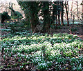 TG2004 : Snowdrops beside the path by Evelyn Simak