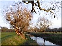 TQ2173 : Pollard willows by Beverley Brook, March 2017 (2) by Stefan Czapski