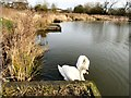 SP2964 : Swans in the pool by Gerald England