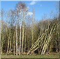 TG2603 : Leaning trees on the edge of a wood beside Spur Lane by Evelyn Simak