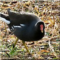 SP2964 : Moorhen at Kingfisher Pool by Gerald England