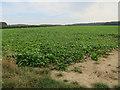 TG3131 : Sugar beet field, Edingthorpe Green by Hugh Venables