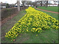 TQ1981 : Daffodils in North Acton playing fields by David Hawgood