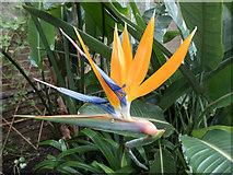 TQ3499 : Bird of Paradise Flower,  Myddelton House Garden, Enfield by Christine Matthews