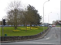 SX9192 : Daffodils by the Exe Bridges roundabout by David Smith