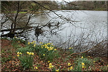 NS2209 : Daffodils at the Swan Pond, Culzean by Billy McCrorie