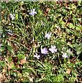 TG1615 : Periwinkle (Vinca minor)  flowers by Evelyn Simak