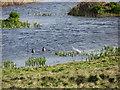 SW5131 : Egret on Marazion Marsh by Gareth James