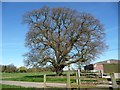 SK2305 : Oak tree, outside Amington Hall Farm by Christine Johnstone