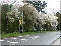 SE9926 : Early spring blossom on Ferriby High Road by Graham Hogg