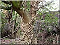 TQ8311 : Ivy on oak tree, Ivyhouse Industrial Estate by Patrick Roper