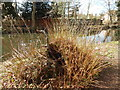 TL8782 : Cut down Willow Tree, Thetford by Hamish Griffin