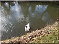 TL8782 : Swan, Thetford by Hamish Griffin