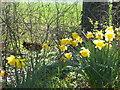 TR0157 : Pheasant in springtime by Marathon