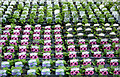 SO8296 : Petunias at Lealans Garden Centre near Shipley, Shropshire by Roger  Kidd