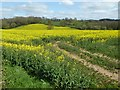 SO4109 : Ripening oilseed rape by Philip Halling