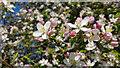 TQ2897 : Apple Blossom, Trent Park, Enfield by Christine Matthews