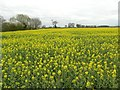 SE6040 : Field of oilseed rape in flower by Graham Hogg