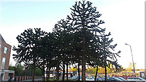 SE3033 : Araucaria in Leeds by Stephen Craven