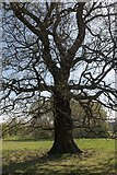 TQ3095 : Oak Tree, Oakwood Park, London, N14 by Christine Matthews