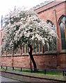 SP3379 : Blossom by Holy Trinity Church by E Gammie
