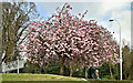 J3371 : Cherry blossom, Stranmillis, Belfast (April 2017) by Albert Bridge