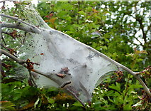 TQ8068 : Tent caterpillar on Horrid Hill by pam fray