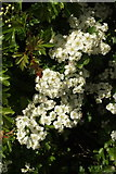 SX9065 : May in blossom, Cricketfield Road, Torquay by Derek Harper