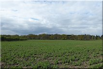 SE6648 : Beans growing near Gipsey Corner by DS Pugh