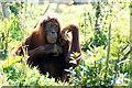 SJ4169 : Sumatran Orangutan (Pongo abelii) at Chester Zoo by Mike Pennington
