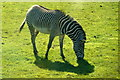 SJ4070 : Grévy's Zebra (Equus grevyi) at Chester Zoo by Mike Pennington