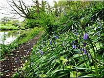 H4772 : Bluebells along the Camowen River, Campsie by Kenneth  Allen