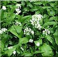 TG2404 : Flowering wild garlic by Evelyn Simak