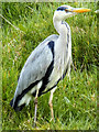 SD7909 : Grey Heron by David Dixon