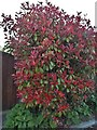 TL7443 : Photinia bush in Stoke by Clare by David Howard