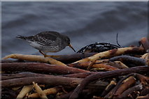 HP5605 : Purple Sandpiper (Calidris maritima), Westing beach by Mike Pennington