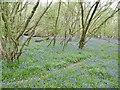 ST9617 : Woodcutts, bluebell wood by Mike Faherty