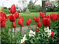 NZ1366 : Tulips in the Memorial Park, Heddon on the Wall by Andrew Curtis