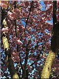 SK3284 : Cherry blossom in a suburban garden by Graham Hogg