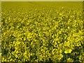 SO8842 : Oilseed rape by Philip Halling